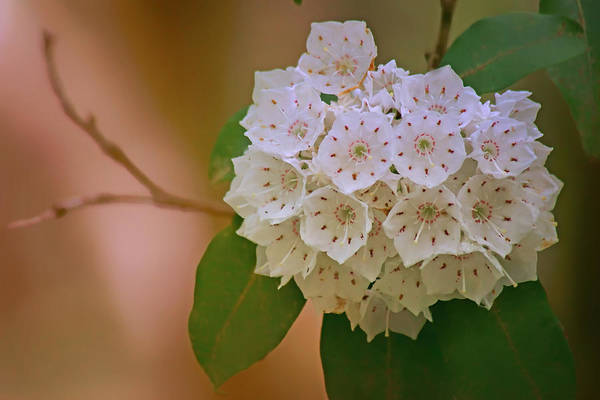 Kalmia Photograph - Mountain Laurel by Nikolyn McDonald