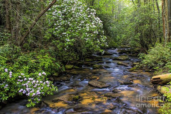Photograph - Mountain Laurels Light Up Panther Creek by Barbara Bowen