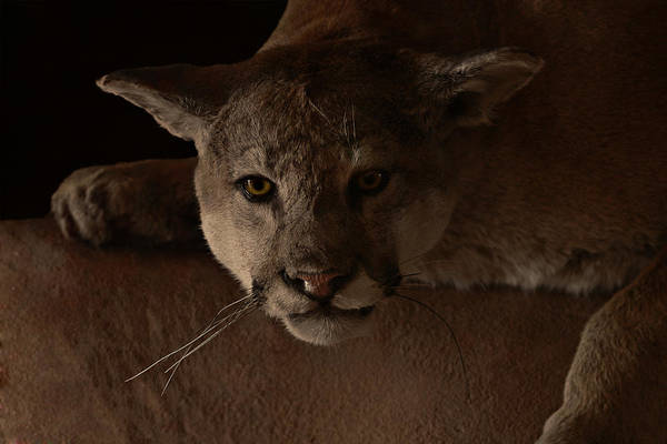 Puma Photograph - Mountain Lion A Large Graceful Cat by Christine Till