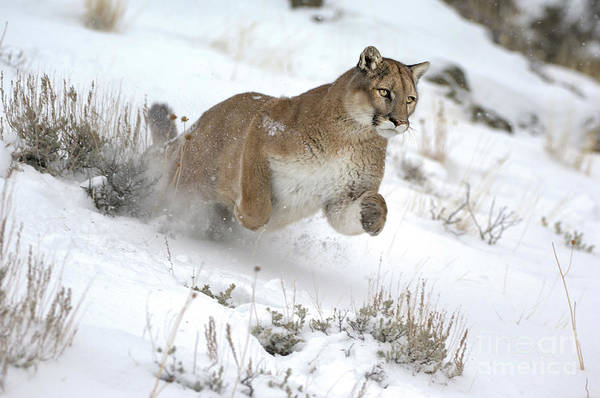 Lion In Winter Photograph - Mountain Lion Action by Wildlife Fine Art
