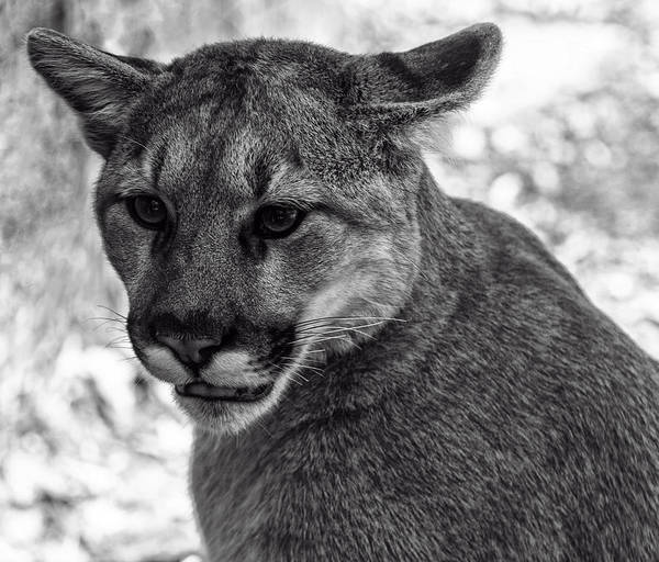 Digital Art - Mountain Lion Bw by Chris Flees