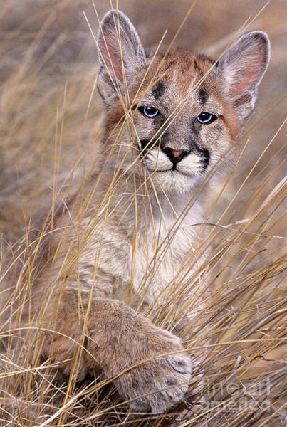 Photograph - Mountain Lion Cub Felis Concolor Captive Central Montana by Dave Welling
