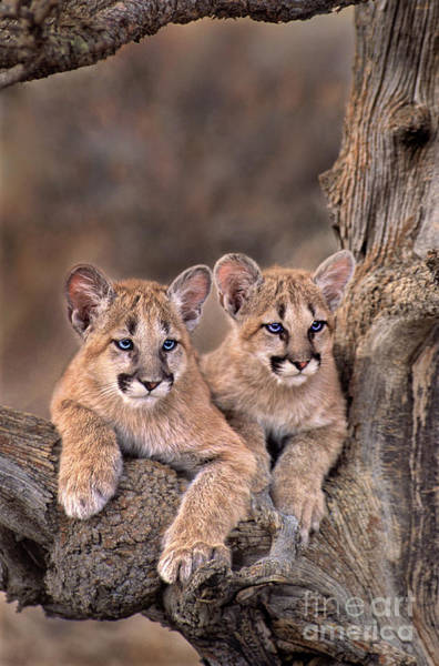 Photograph - Mountain Lion Cubs Felis Concolor Captive  by Dave Welling