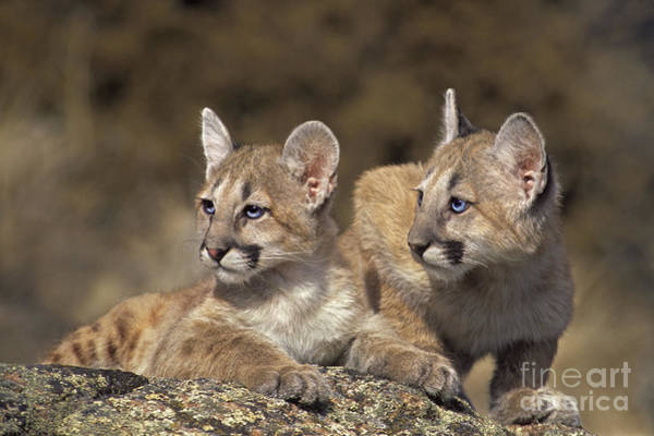 Photograph - Mountain Lion Cubs On Rock Outcrop by Dave Welling