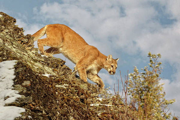 Photograph - Mountain Lion Domain by Wes and Dotty Weber