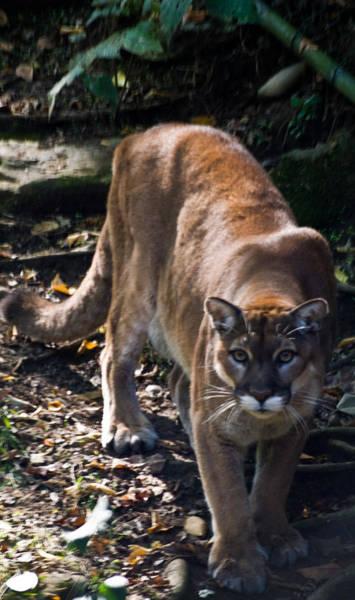 Catamount Photograph - Mountain Lion by Douglas Barnett
