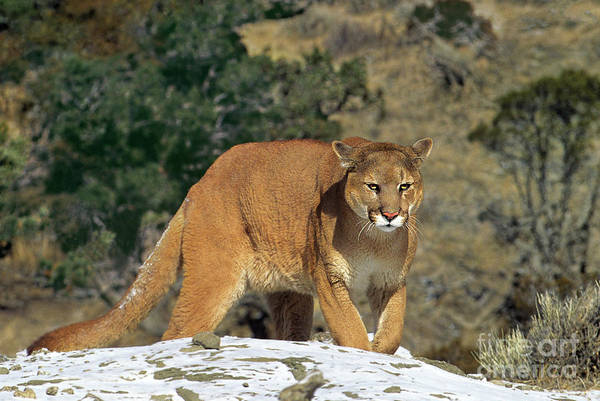 Photograph - Mountain Lion Felis Concolor Walking On Snow Covered Hillside by Dave Welling