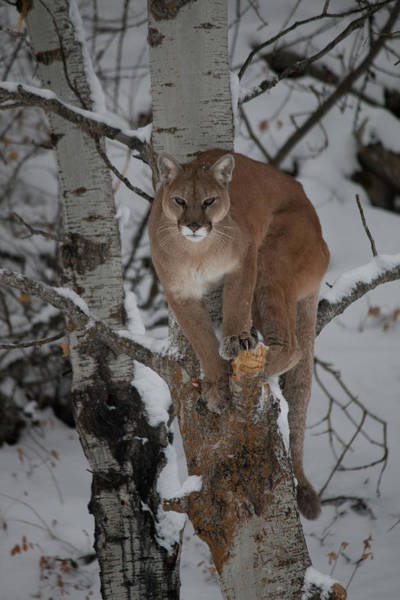 Lion In Winter Photograph - Mountain Lion In A Tree by Teresa Wilson