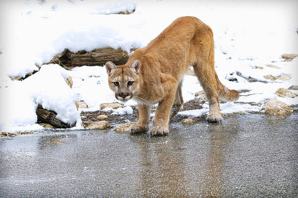 Lion In Winter Photograph - Mountain Lion In Winter by Steve McKinzie