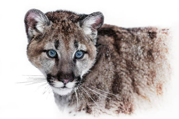 Photograph - Mountain Lion Kitten by Wes and Dotty Weber