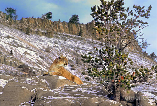 Lion In Winter Photograph - Mountain Lion On Snow Covered Hillside by Dave Welling
