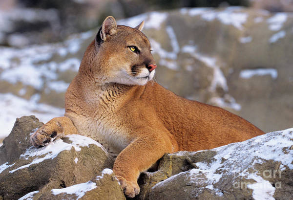 Photograph - Mountain Lion On Snow-covered Rock Outcrop by Dave Welling