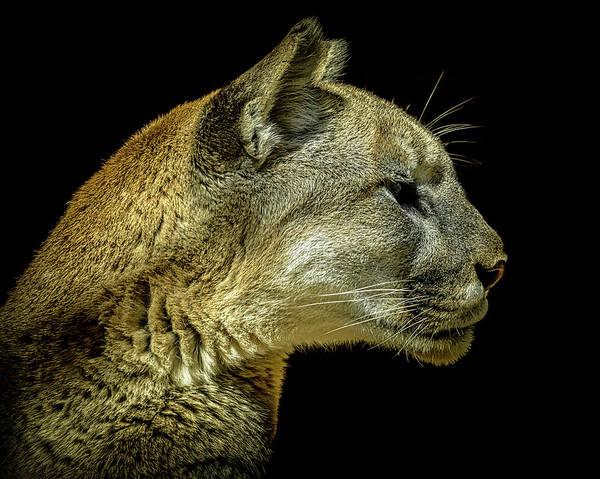 Cougar Photograph - Mountain Lion Portrait by Ernie Echols