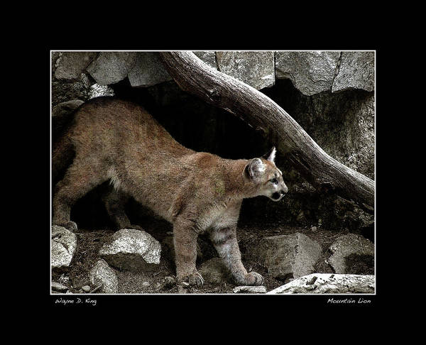 Photograph - Mountain Lion Poster by Wayne King