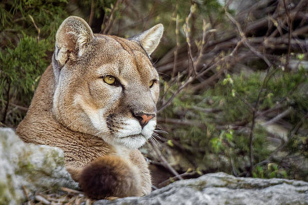 Photograph - Mountain Lion by Ron Pate