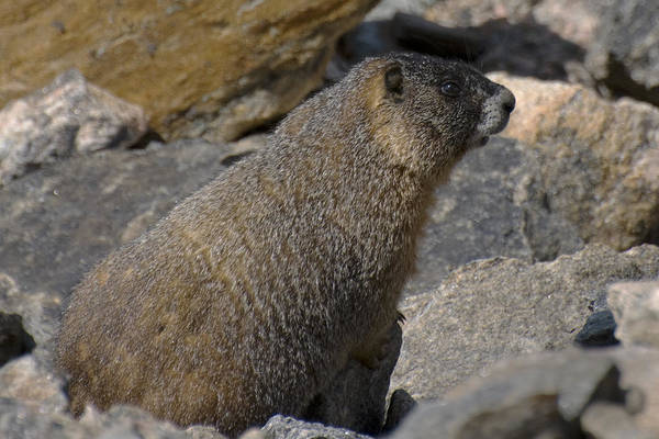 Habenero Photograph - Mountain Marmot by Richard Henne