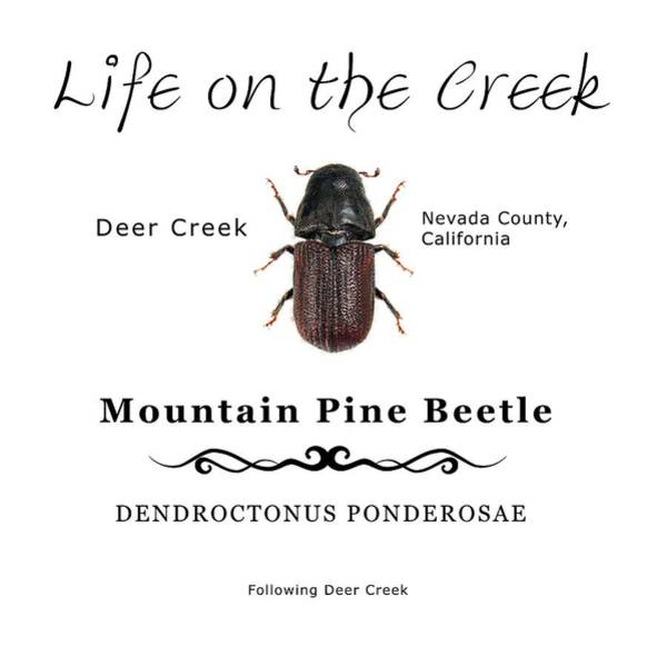 Digital Art - Mountain Pine Beetle Color by Lisa Redfern