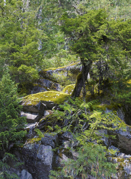Photograph - Mountain Tree Growing Out Of Rocks by Lynn Hansen