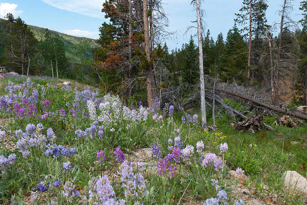 Photograph - Mountain Wildflowers And Pine by Cascade Colors