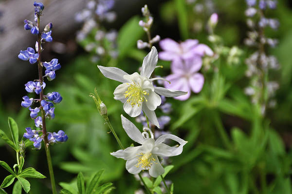 Photograph - Mountain Wildflowers by Greg Norrell