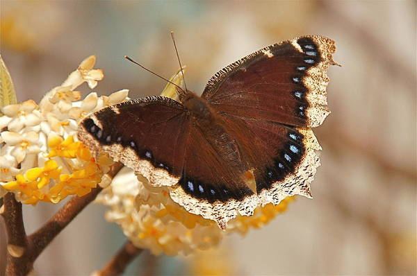 Photograph - Mourning Cloak Butterfly by Byron Varvarigos