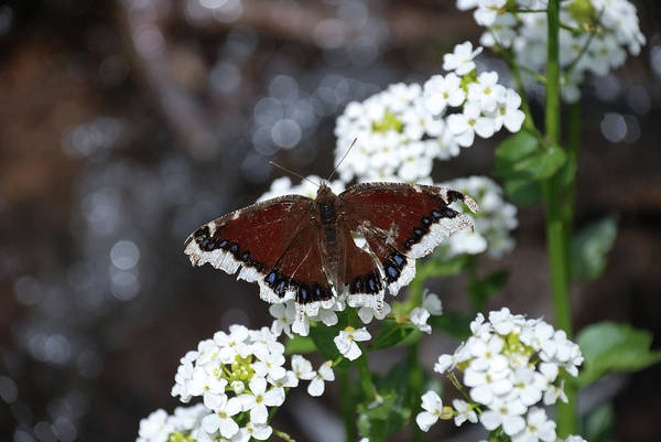 Photograph - Mourning Cloak by Jason Coward