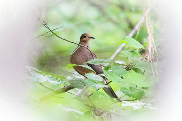 Photograph - Mourning Dove 2016 04 by Jim Dollar