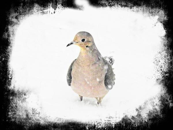 Photograph - Mourning Dove In Snow by Rusty R Smith