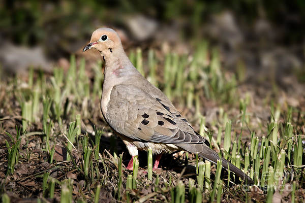 Photograph - Mourning Dove by Jemmy Archer