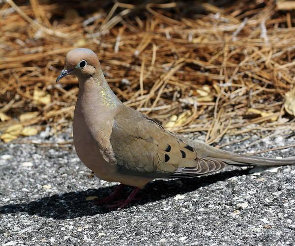 Photograph - Mourning Dove by Jennifer Robin