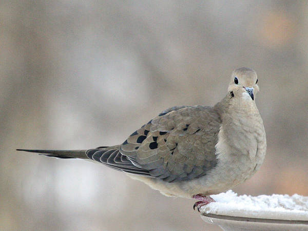 Wall Art - Photograph - Mourning Dove Looks Me In The Eye by Laurie With