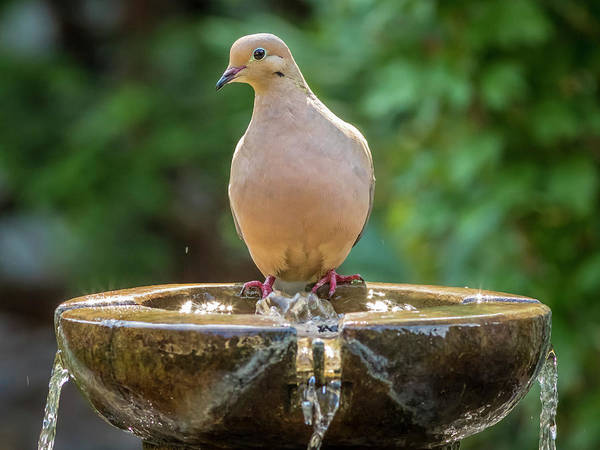 Photograph - Mourning Dove by Mark Mille