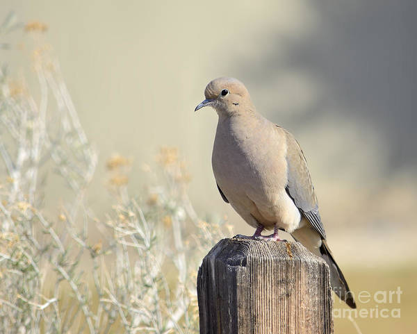 Wall Art - Photograph - Mourning Dove by Marv Vandehey