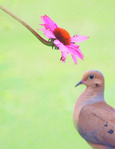 Photograph - Mourning Dove by Sue Collura
