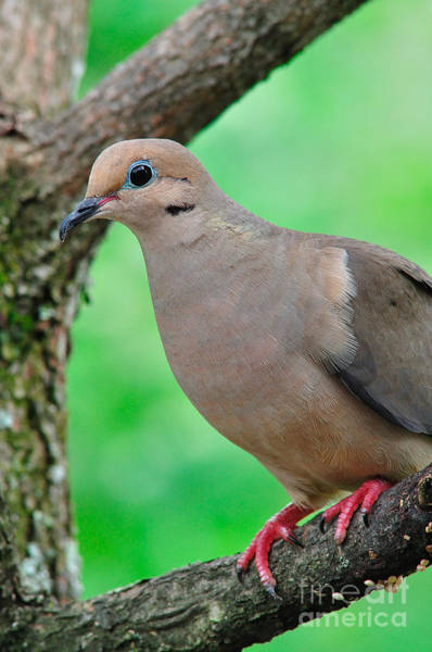 Photograph - Mourning Dove by Thomas R Fletcher