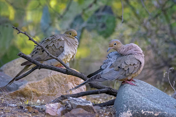 Photograph - Mourning Doves H1800 by Mark Myhaver