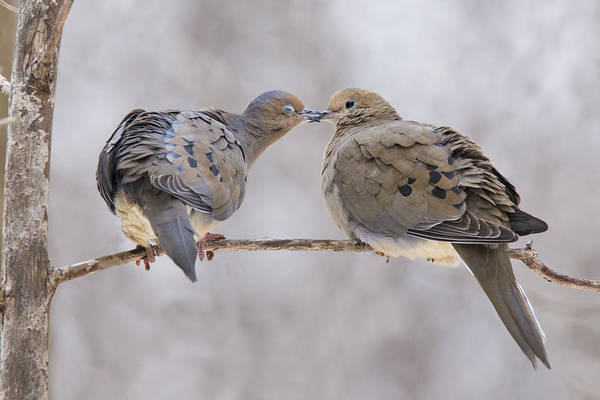 Wall Art - Photograph - Mourning Doves In Love by Mircea Costina Photography