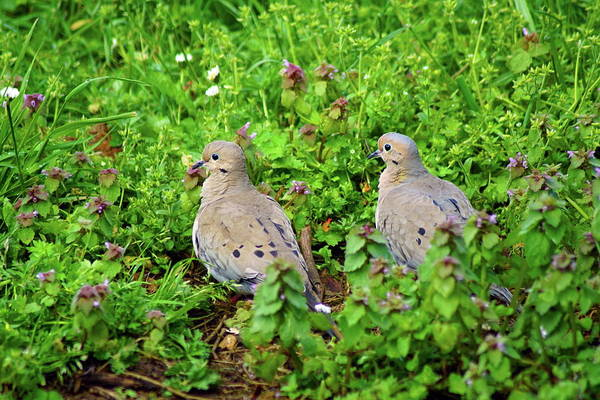 Photograph - Mourning Doves In Oregon by Ben Upham III