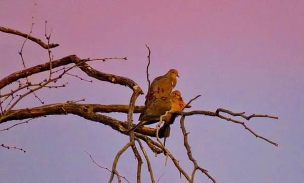 Photograph - Mourning Doves by Judy Kennedy