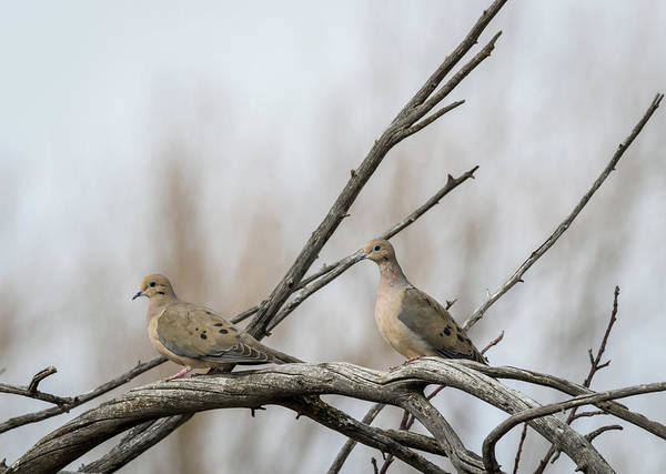 Photograph - Mourning Doves by Michael Chatt