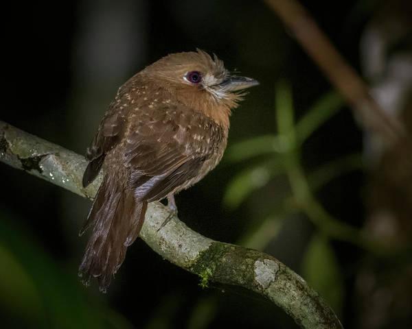 Photograph - Moustached Puffbird Filandia Quindio Colombia by Adam Rainoff