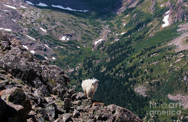 Photograph - Moutain Goat At The Mount Massive Summit by Steve Krull
