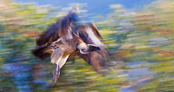 Wall Art - Photograph - Moving Vulture by Basie Van Zyl