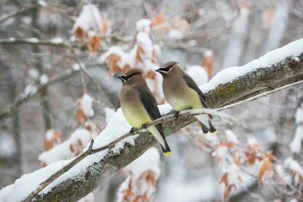 Photograph - Mr. And Mrs. Cedar Wax Wing by Betty Pauwels