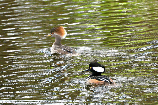 Photograph - Mr. And Mrs. Hooded Mergansers by Don Mercer