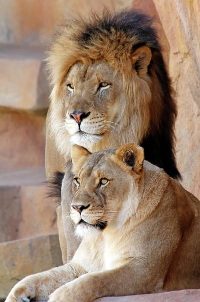 Nfs Photograph - Mr And Mrs Lion by Daniel Caracappa