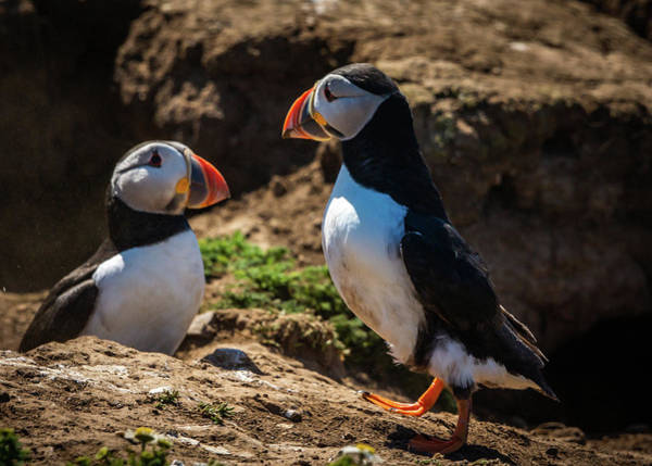 Photograph - Mr And Mrs Puffin by Framing Places