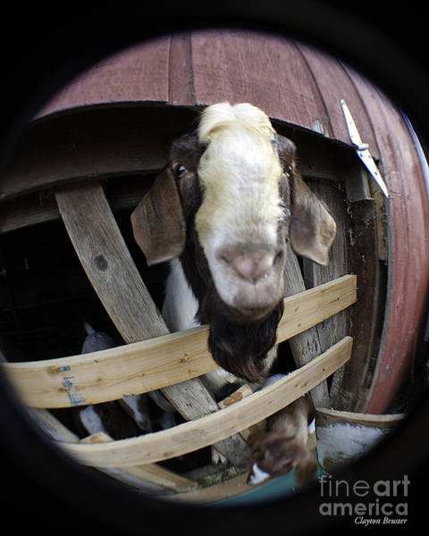 Photograph - Mr B Goat by Clayton Bruster