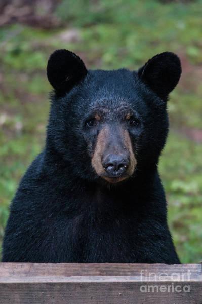 Photograph - Mr Bear by Buddy Morrison