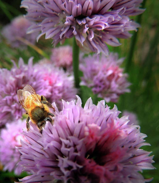 Photograph - Mr Bee On My Chives by Nancy Griswold